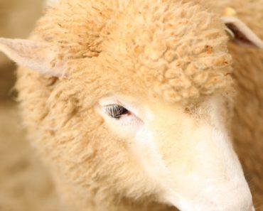 Sheep Shearing in Perth Farm